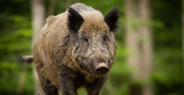'Bioinvasão' com aproximadamente 200 mil javalis causa prejuízos e reação de caçadores em SC.